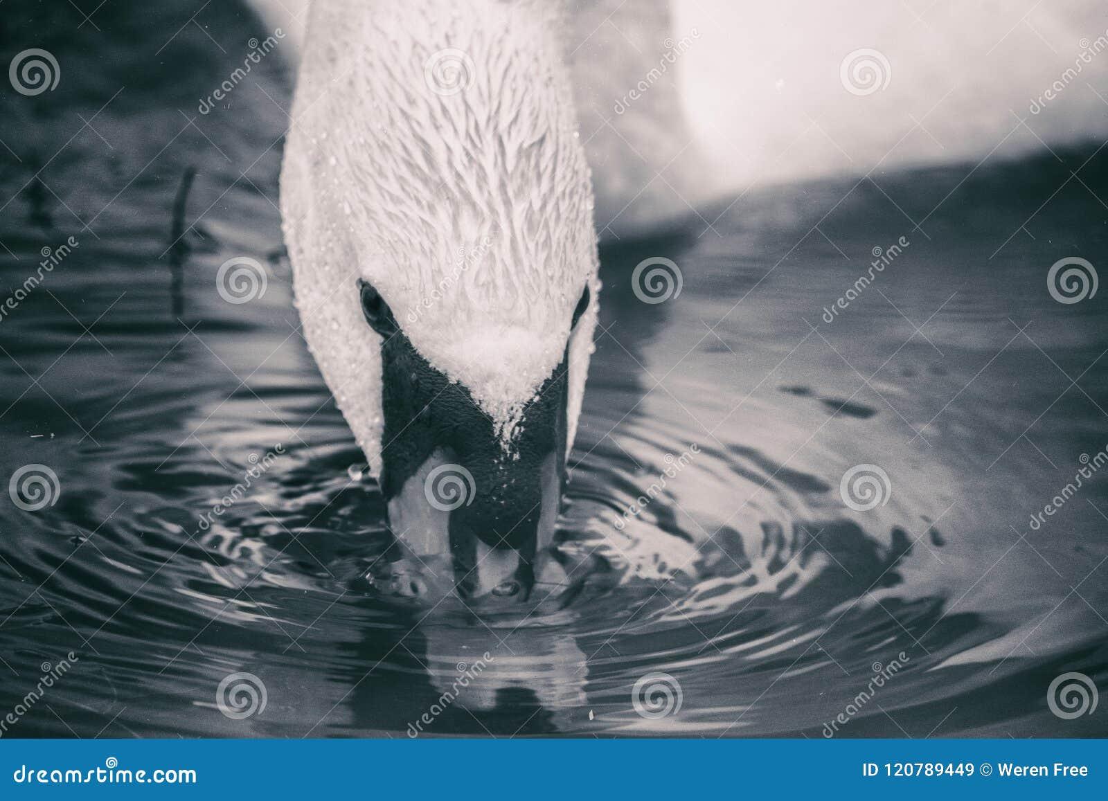 Bebidas del cisne del lago