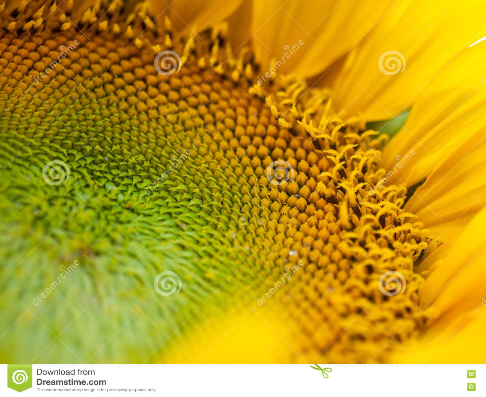 Bebouwde foto van zonnebloem
