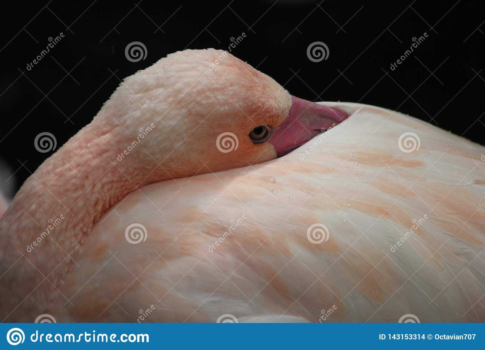 Bec de peau de flamant dans les plumes