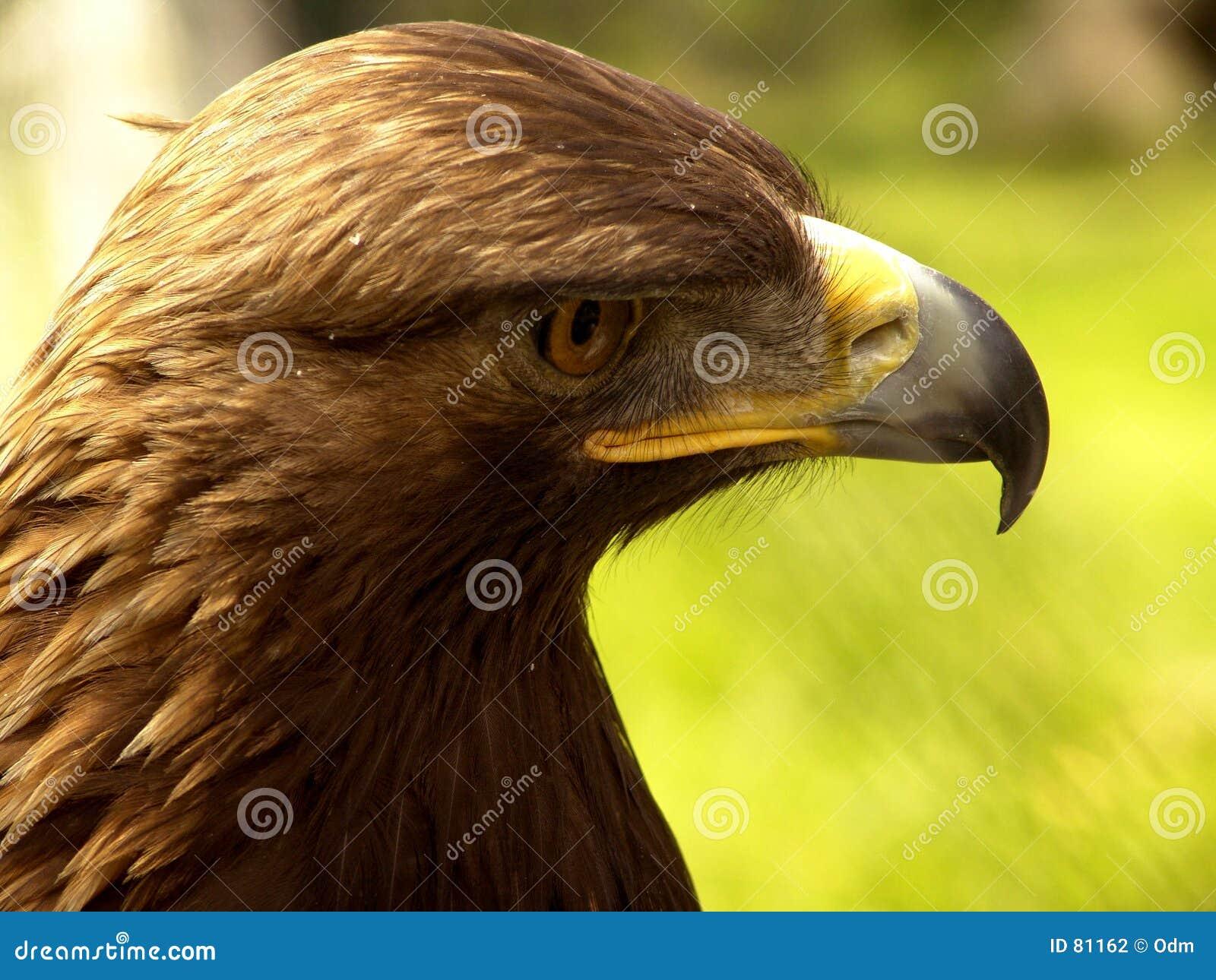 Bec réel de droite d aigle