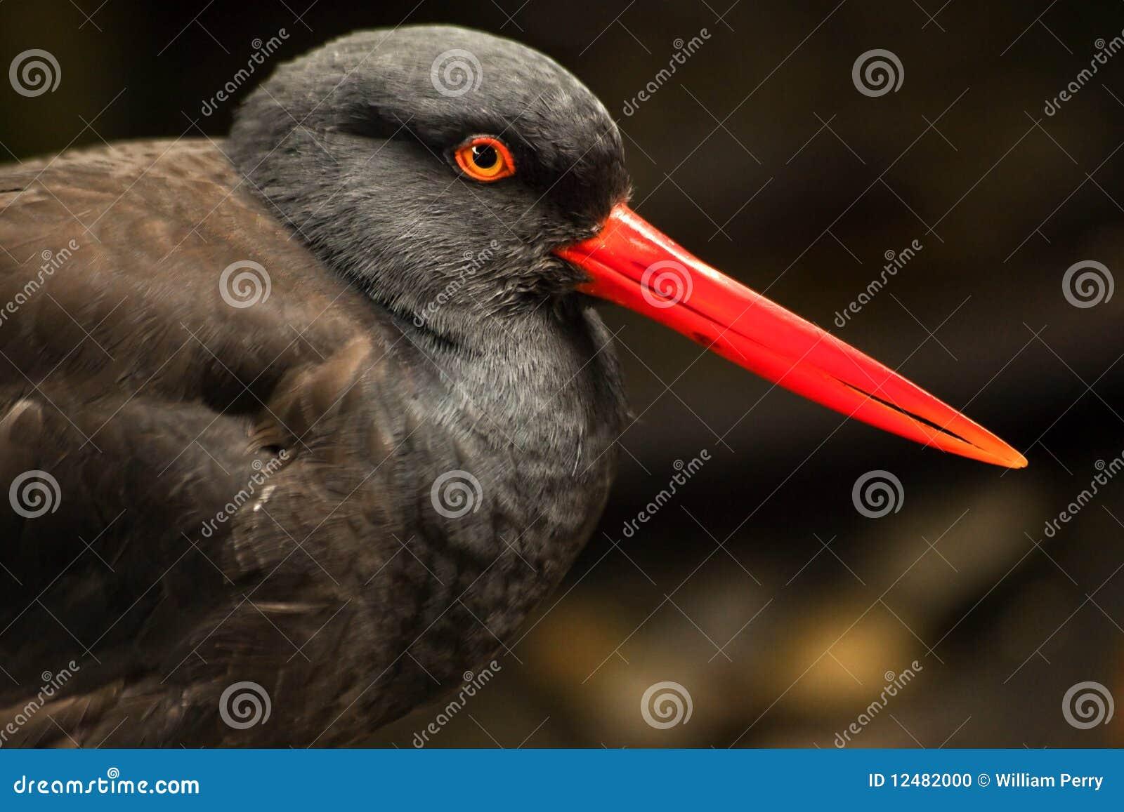 Bec rouge lumineux noir de clavettes d 39 oiseau d 39 hu trier for Oiseau bec rouge
