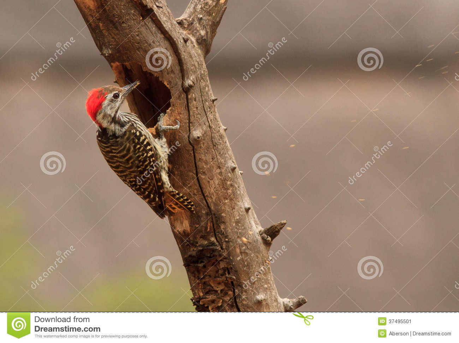 Beccata di Woodpecker del cardinale