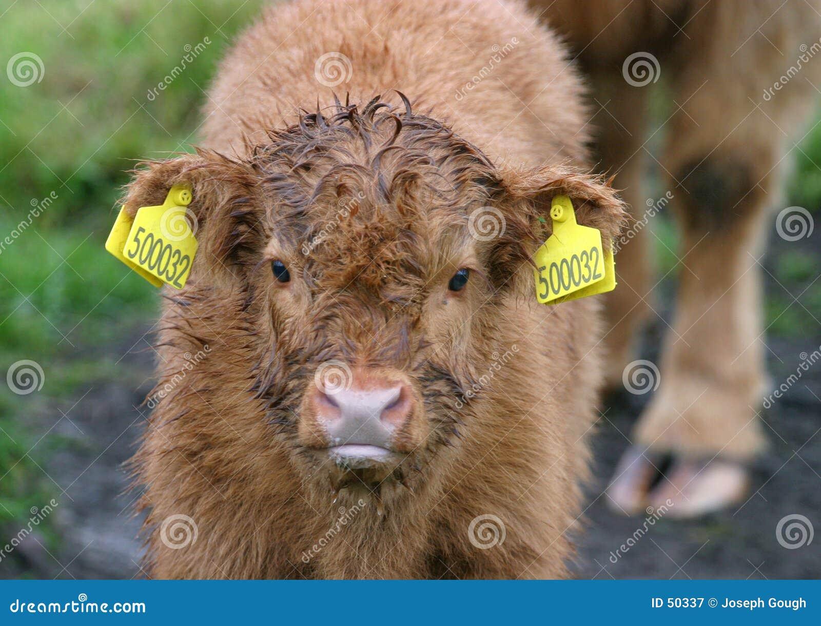 Becerro 2 del ganado de la montaña