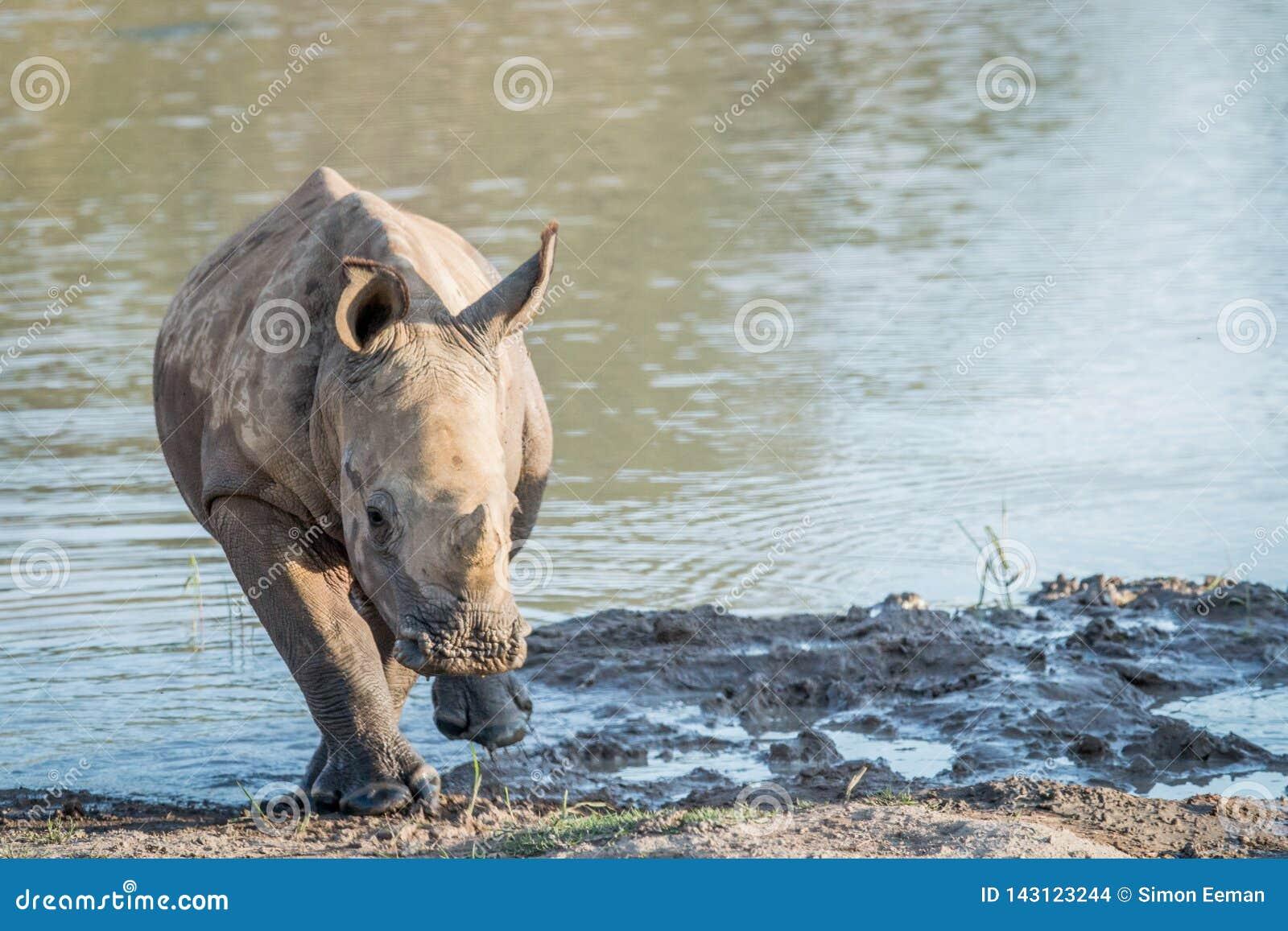 Becerro blanco del rinoceronte del bebé que juega en el agua
