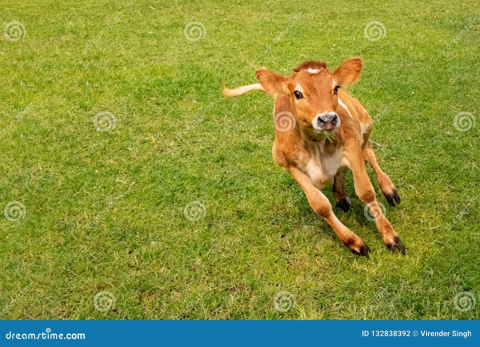 Becerro de la vaca que salta y junning en tierra en día soleado