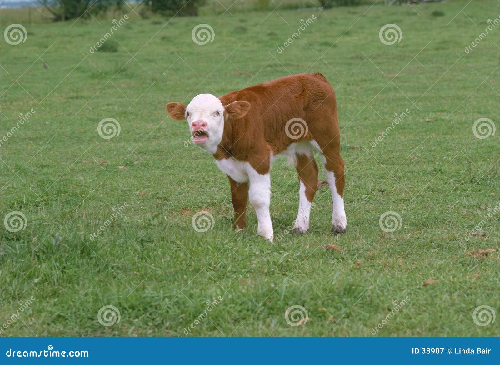 Download Becerro del bebé imagen de archivo. Imagen de beef, industria - 38907