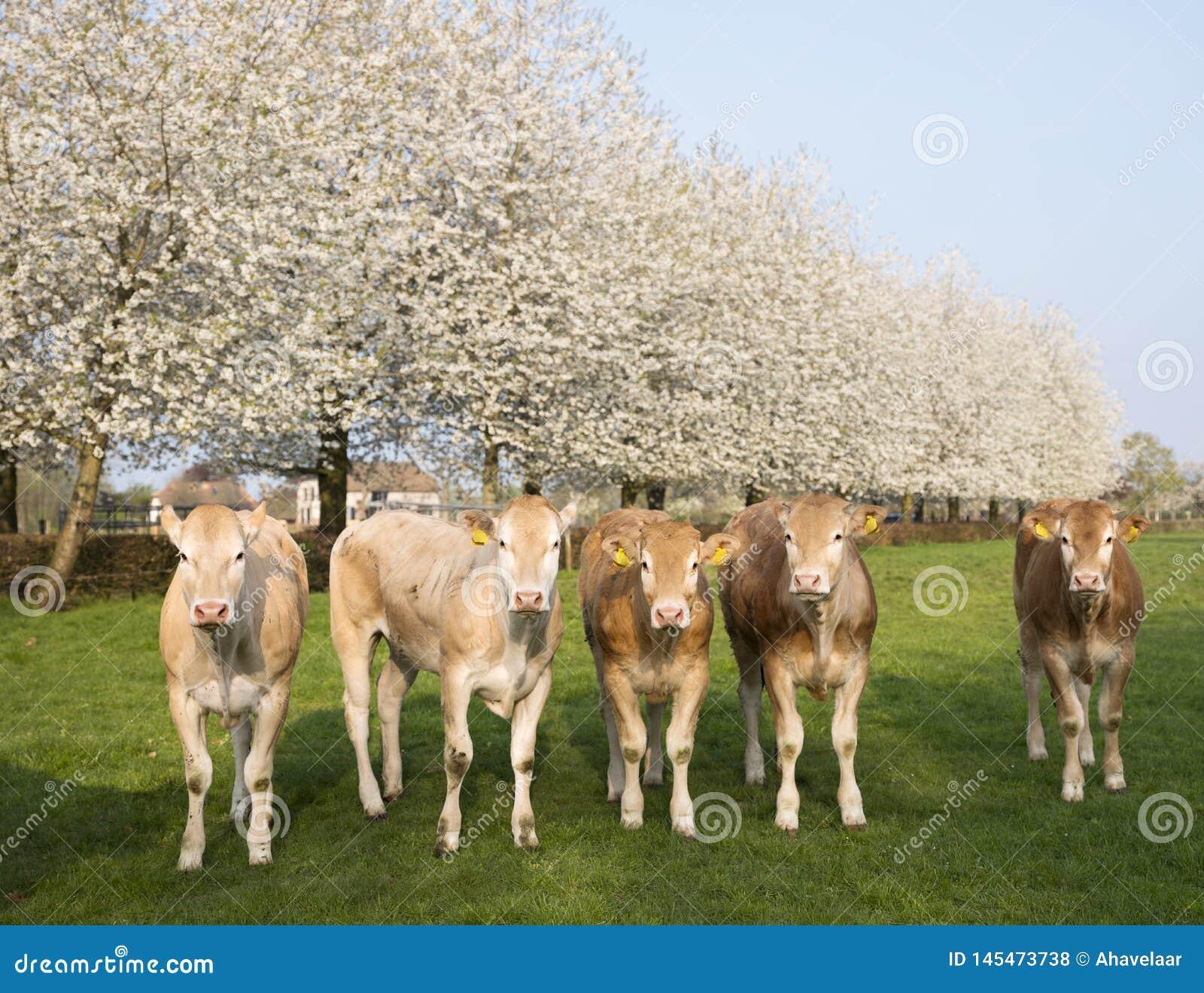 Becerros de d rubia ?Aquitania en prado verde con los ?rboles florecientes blancos de la primavera