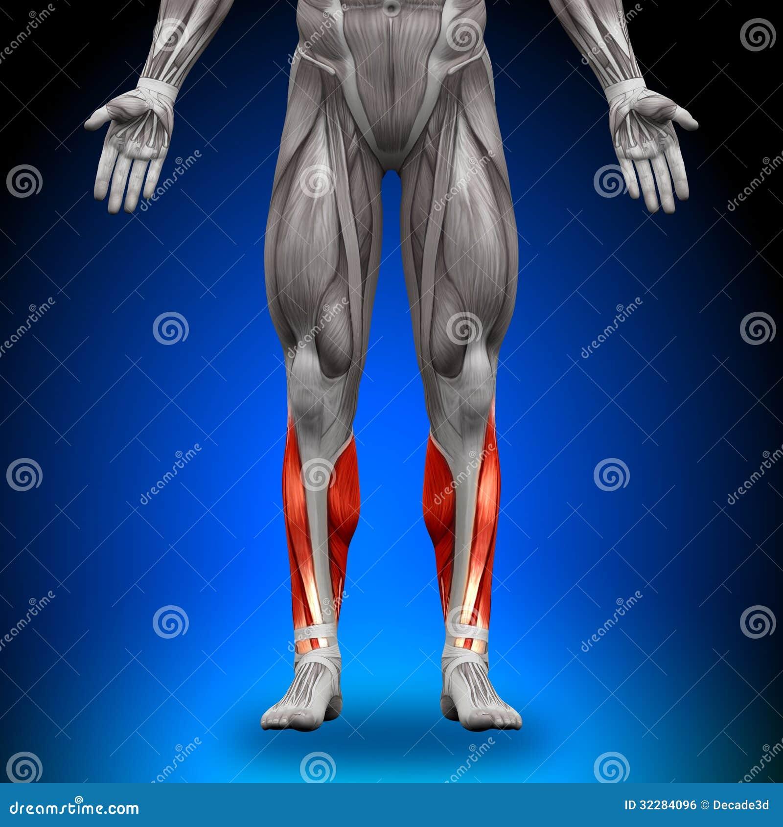 Becerros - Músculos De La Anatomía Stock de ilustración ...