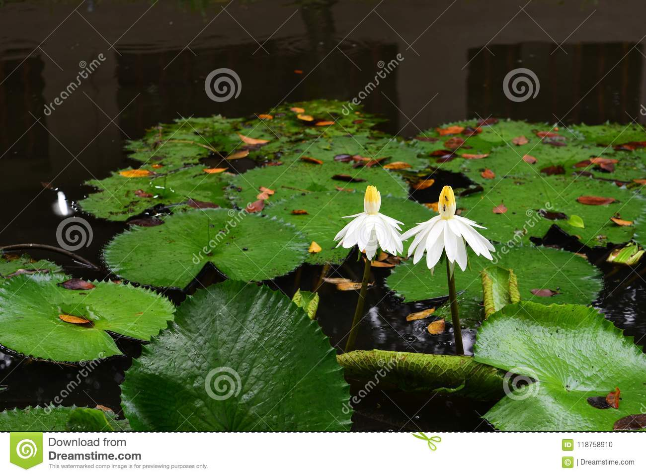White Aquatic Flower And Plant A Life Partner Stock Photo Image