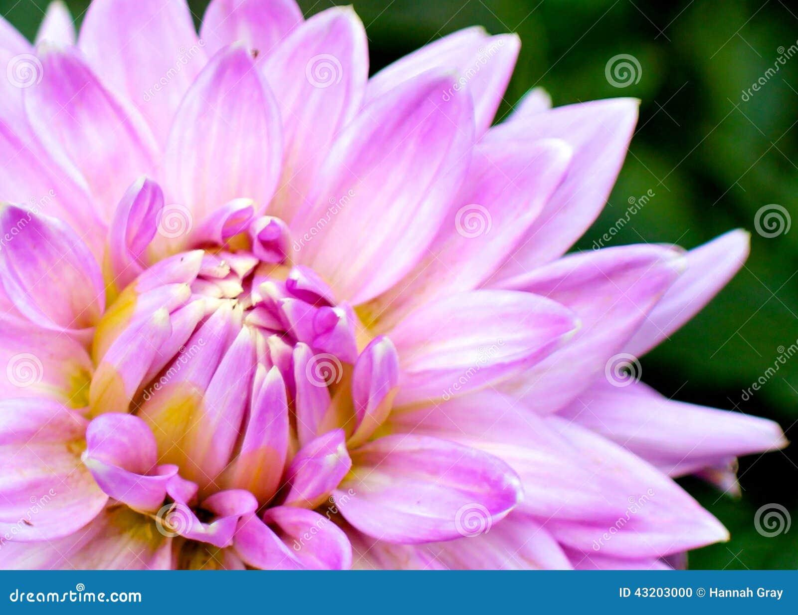 Download Bedöva Bild För Rosa Färgblommacloseup Arkivfoto - Bild av pink, bygd: 43203000