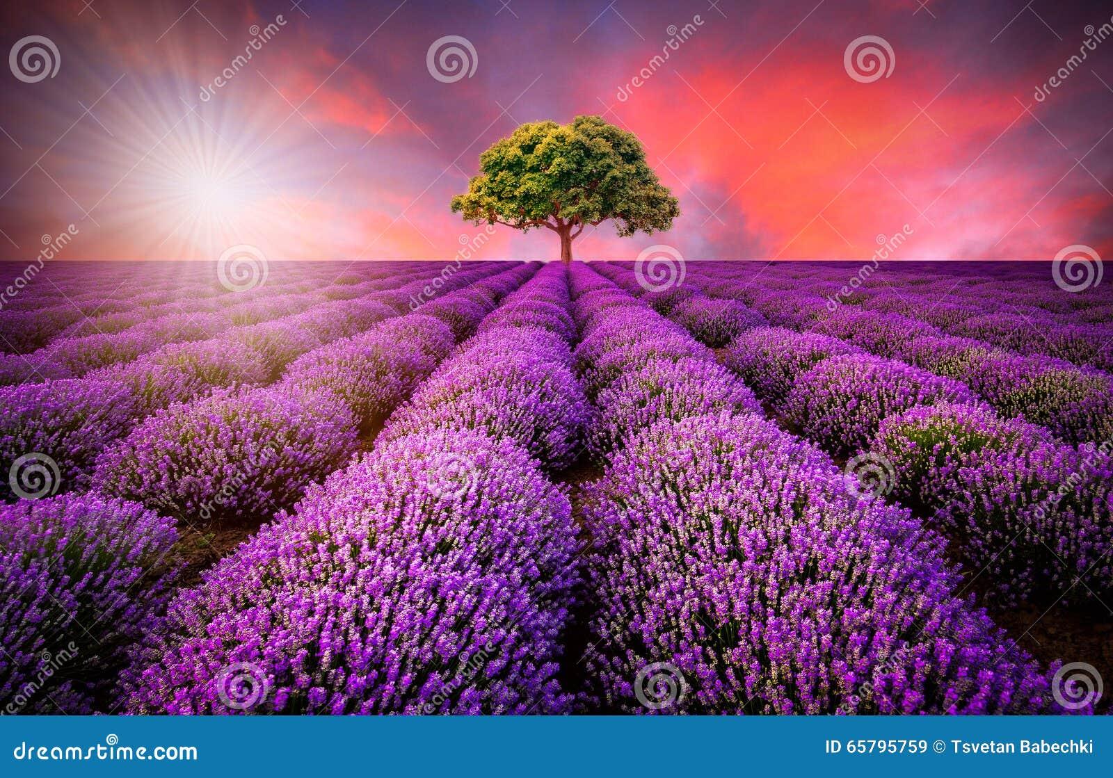 Bedöva landskap med lavendelfältet på solnedgången