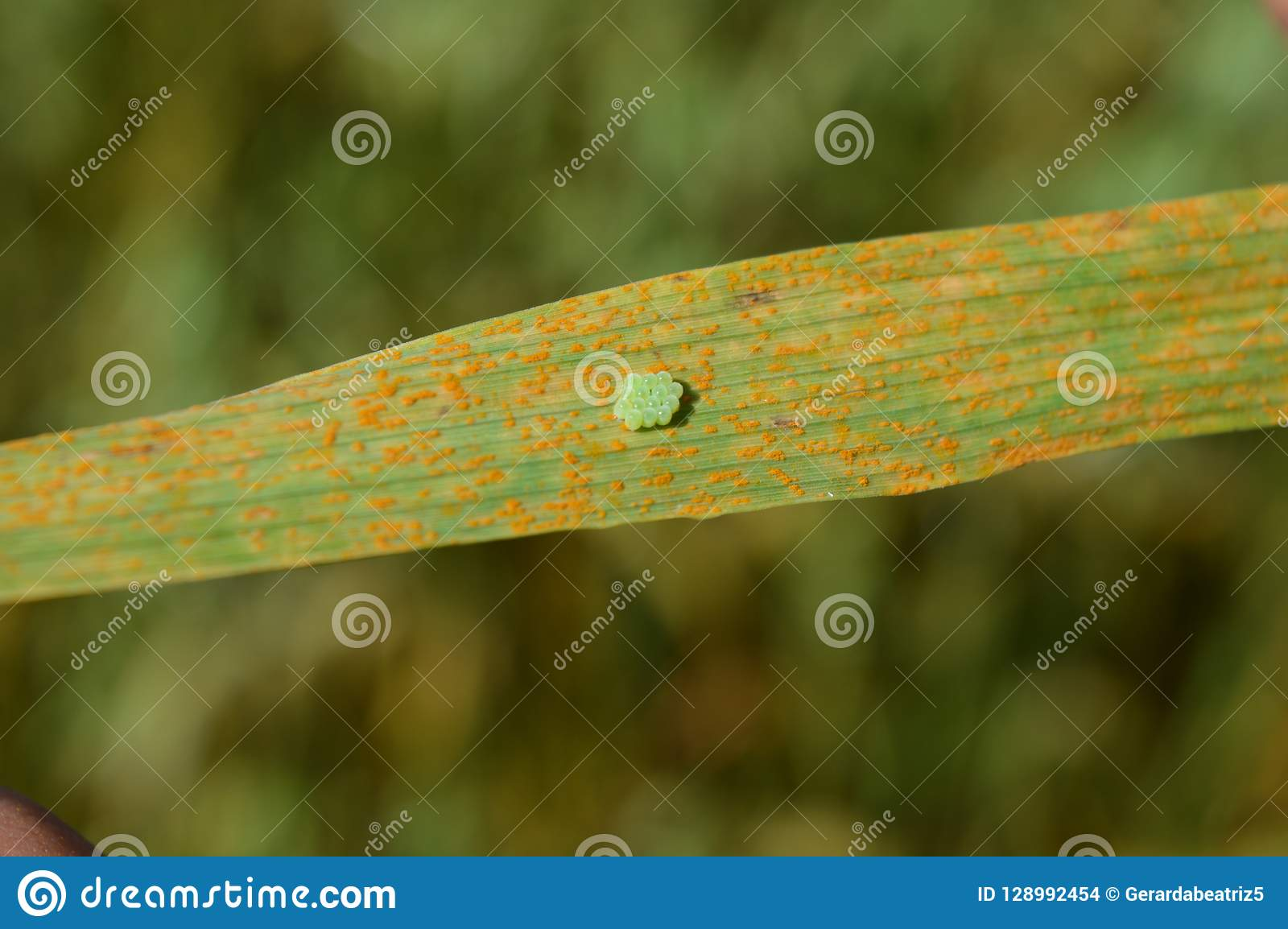 Bed Bug Eggs On Leaf Stock Photo Image Of Coloron Blue 128992454