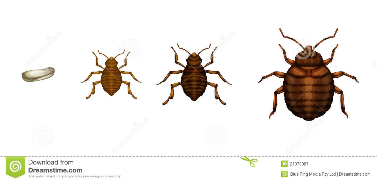 bed bug life cycle time