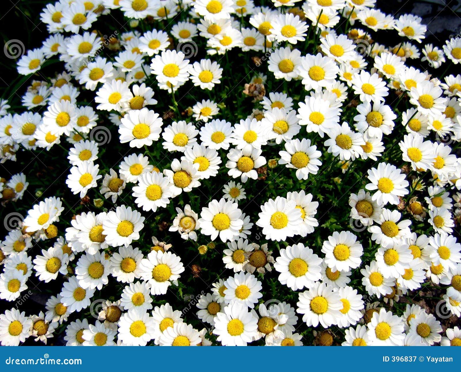 Flower bed full of white daisies.