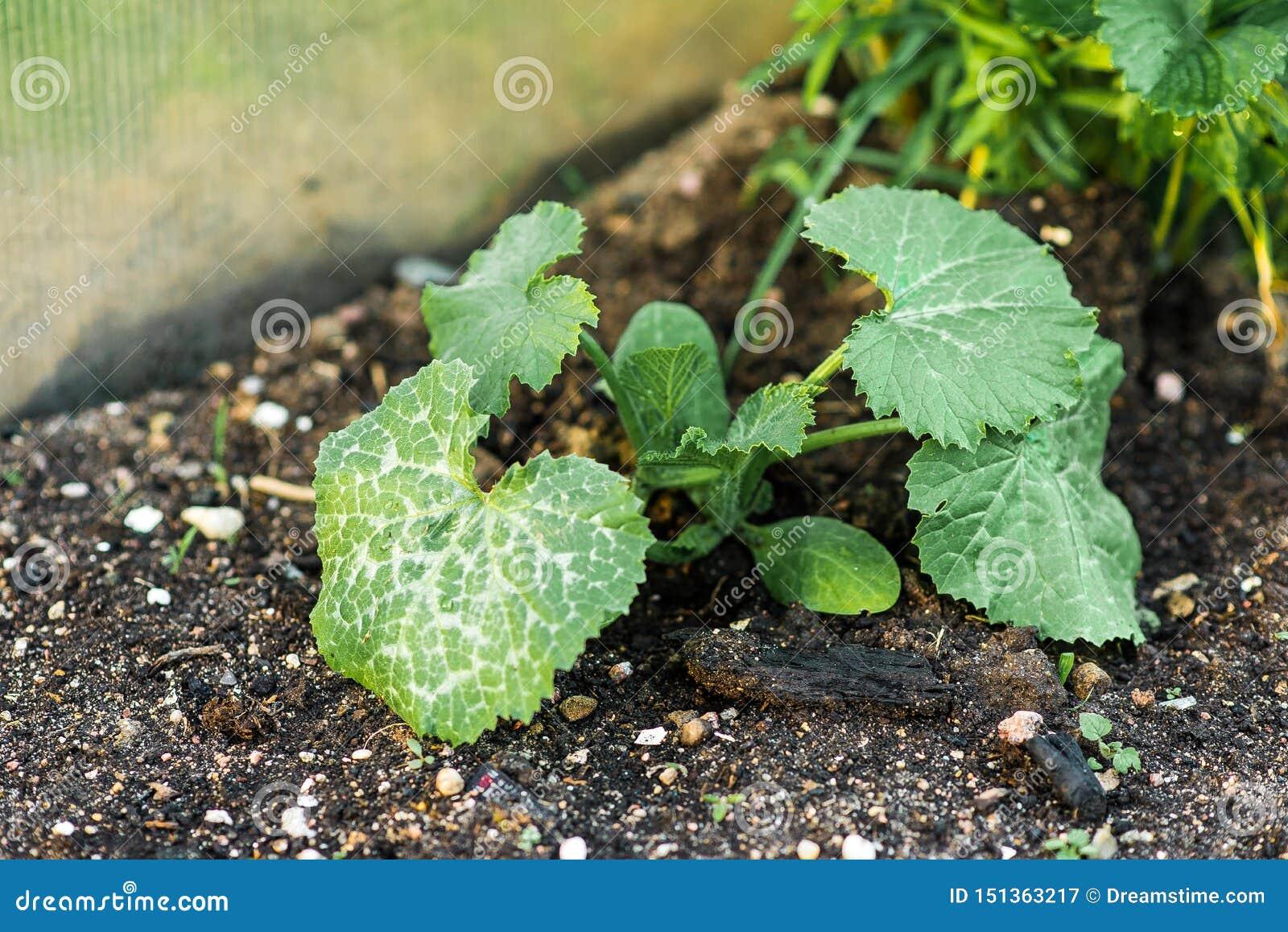 Bed met spruiten van sla, basilicum en andere greens Het zaaien en spruitzaden in de tuin