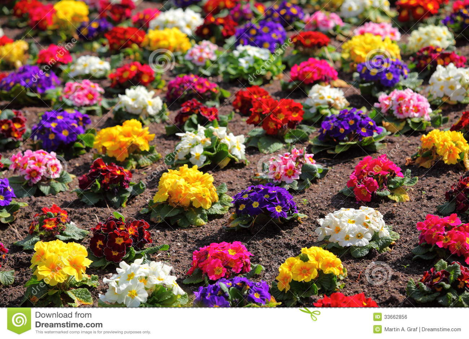 Colorful Flowerbed Of Primula Vulgaris Royalty Free Stock ...