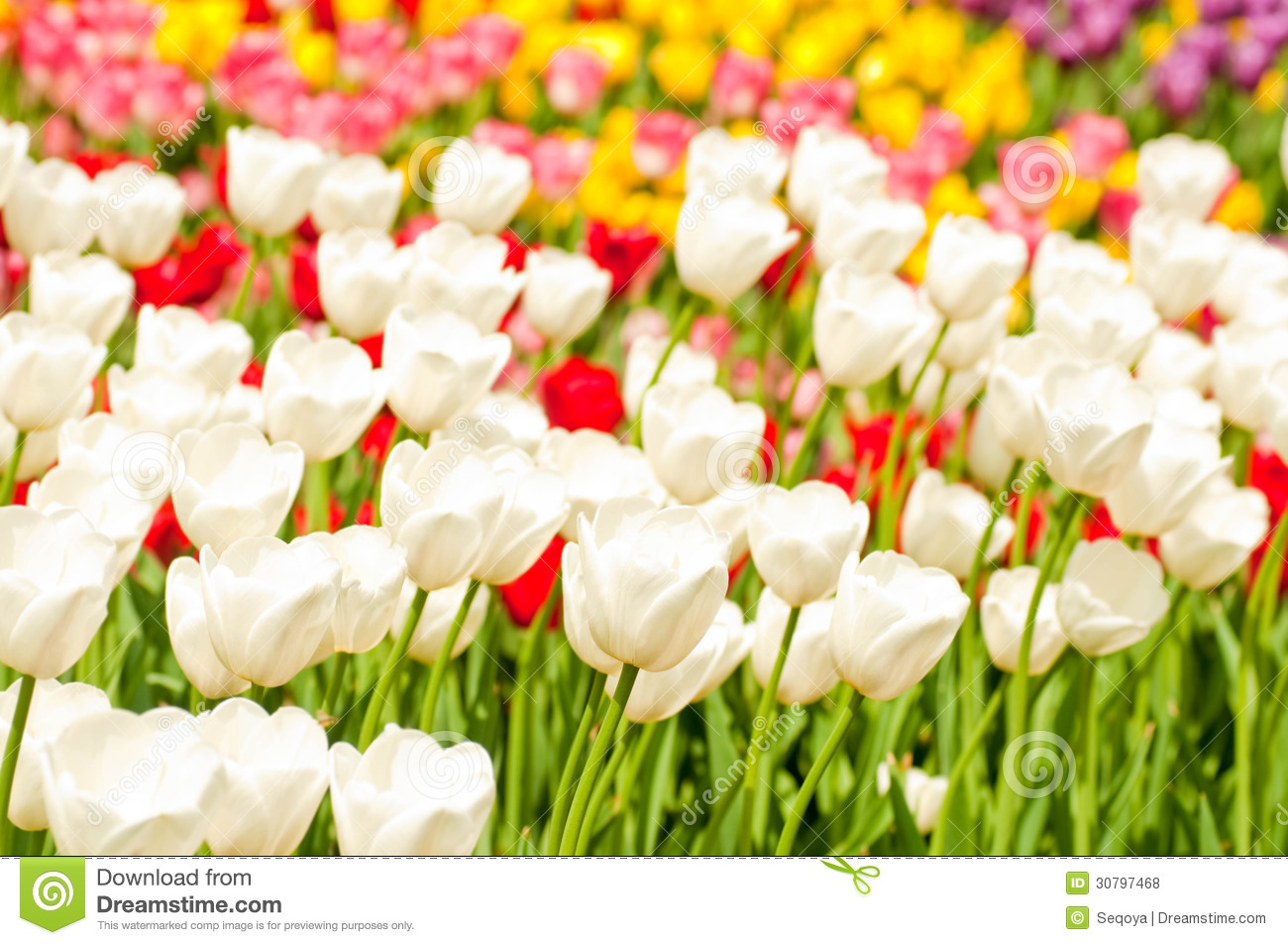Tulips Tulip Bed Free Stock 28 Images Bed Of Tulips