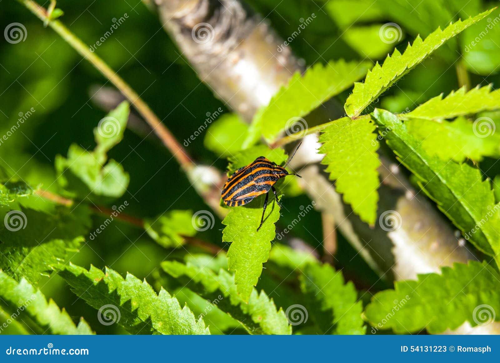 Bedbug On Flower Stock Image Image Of Beetle Animal 54131223