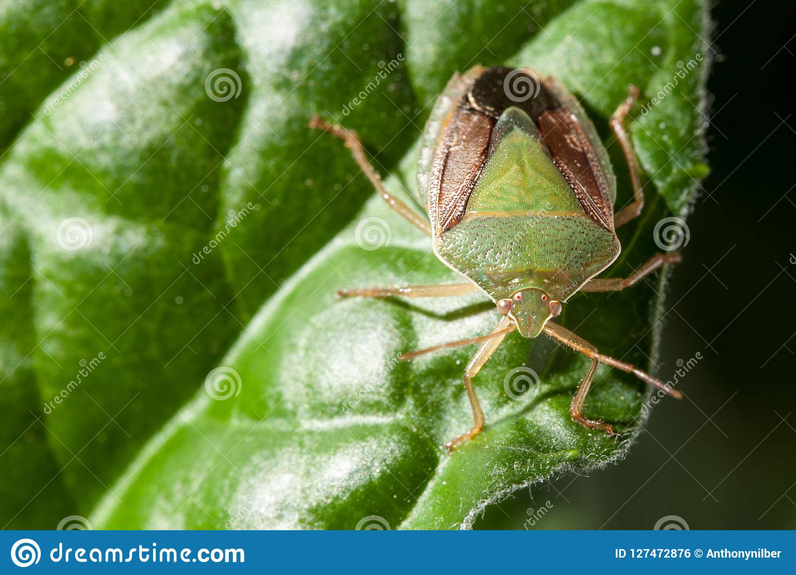 Bedbug Insect On Leaf Extreme Close Up Photo Stock Photo Image Of