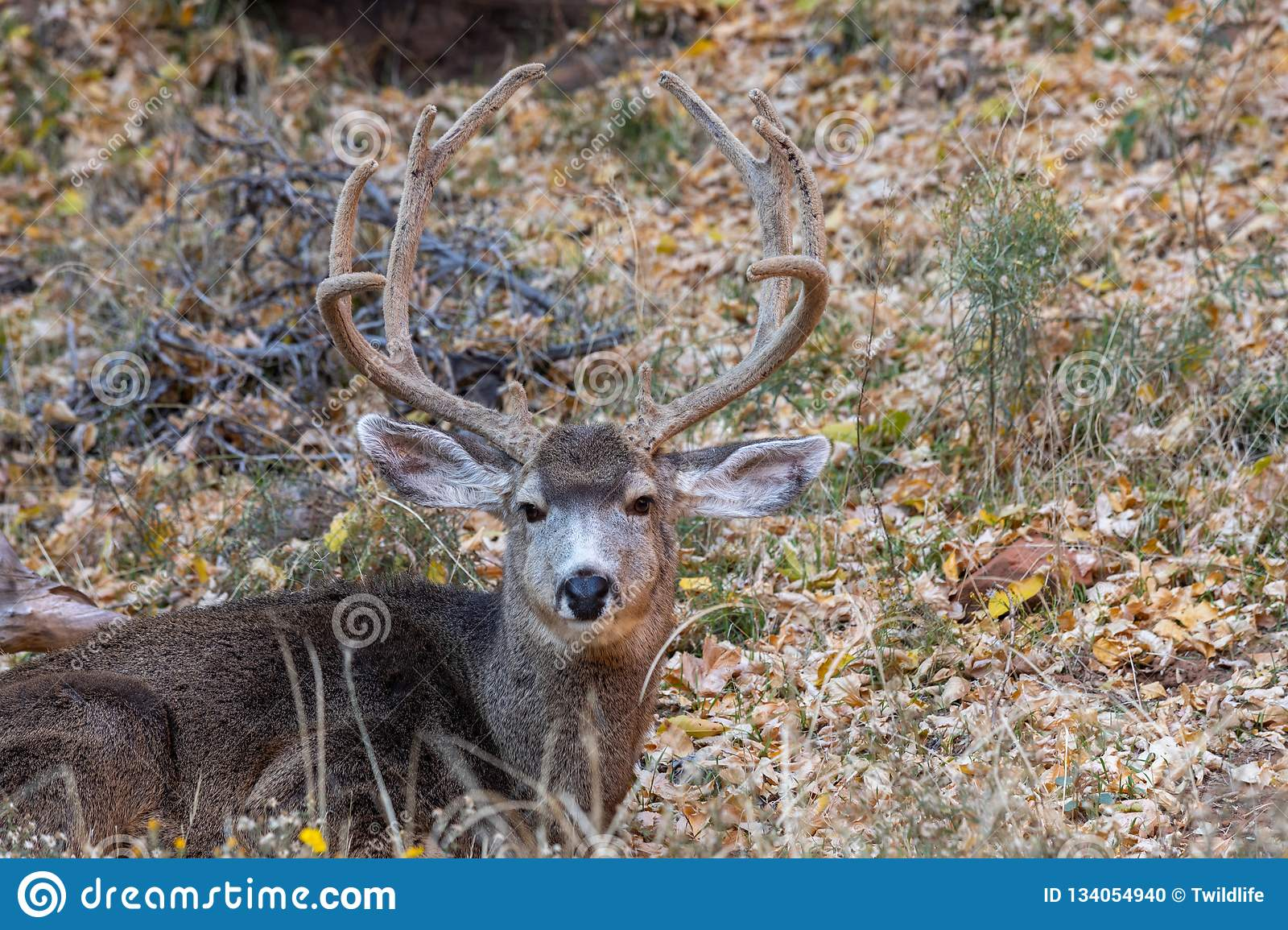 Bedded Mule Deer Buck Stock Photo Image Of Wildlife 134054940