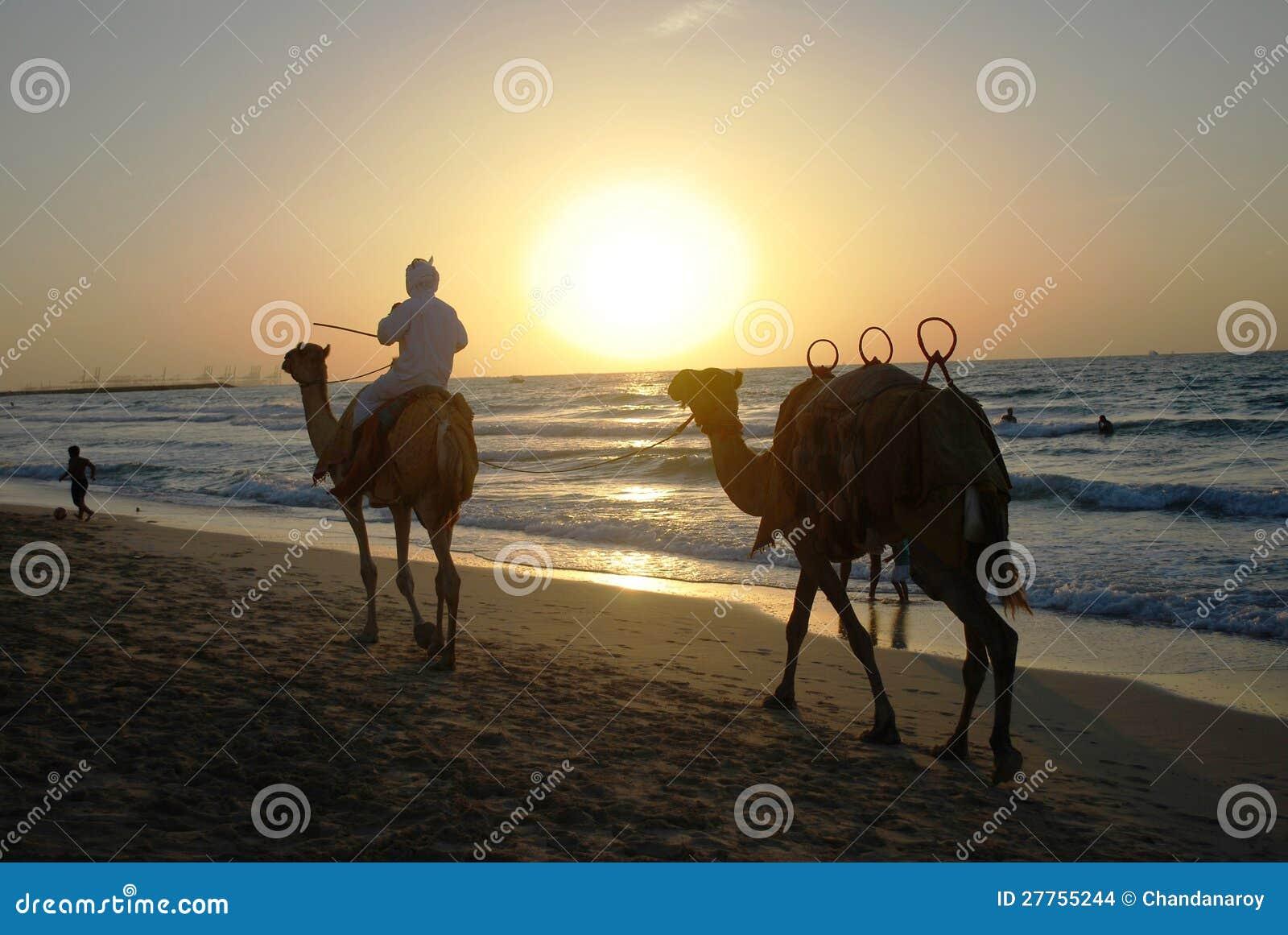 Bedouin su una guida del cammello nel tramonto