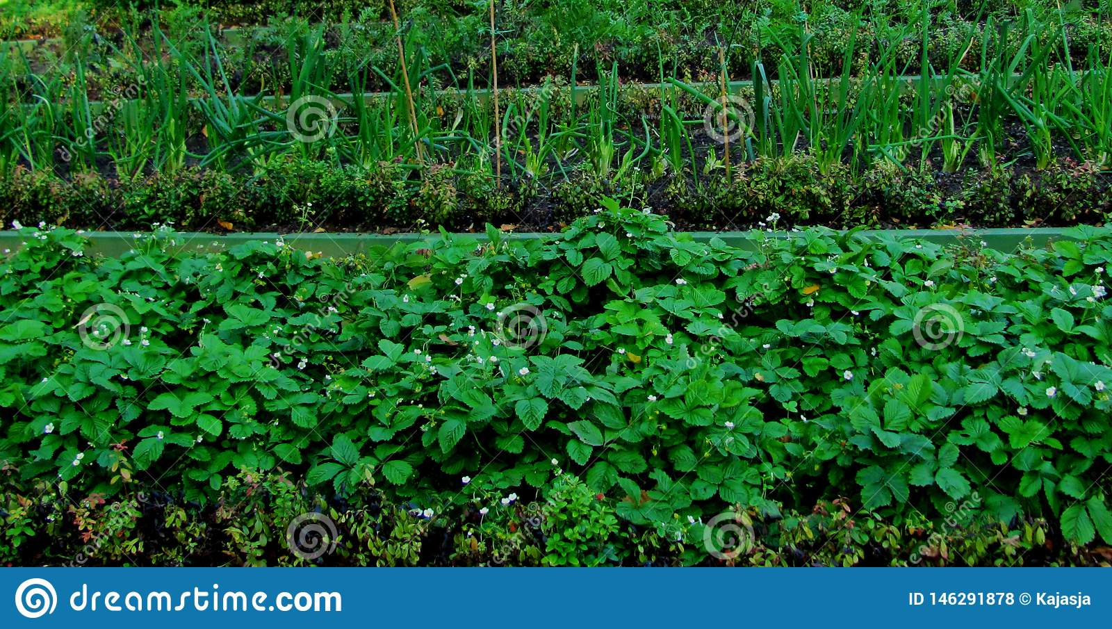 The beds of strawberries, berries and onions. the garden season