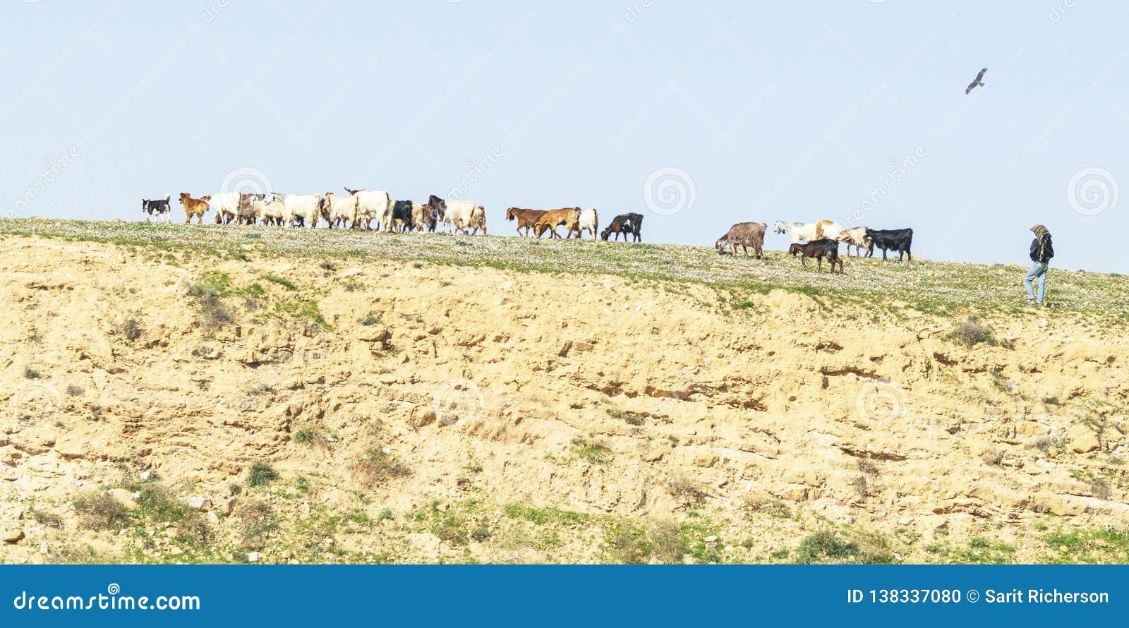 Beduino y perros que reúnen cabras cerca de Arad en Israel