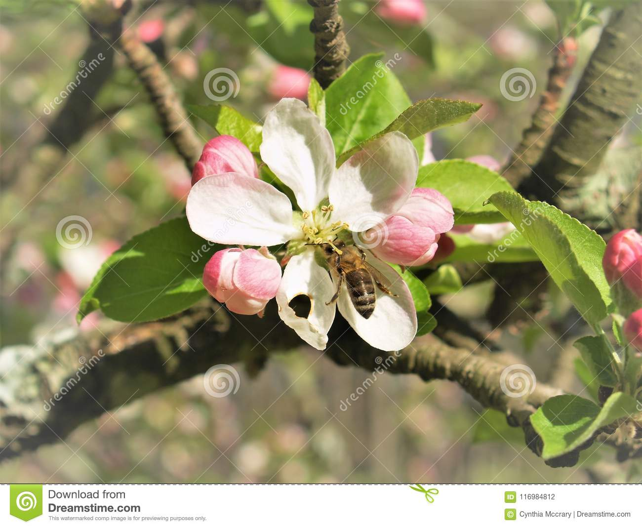 Bee on an Apple Blossom