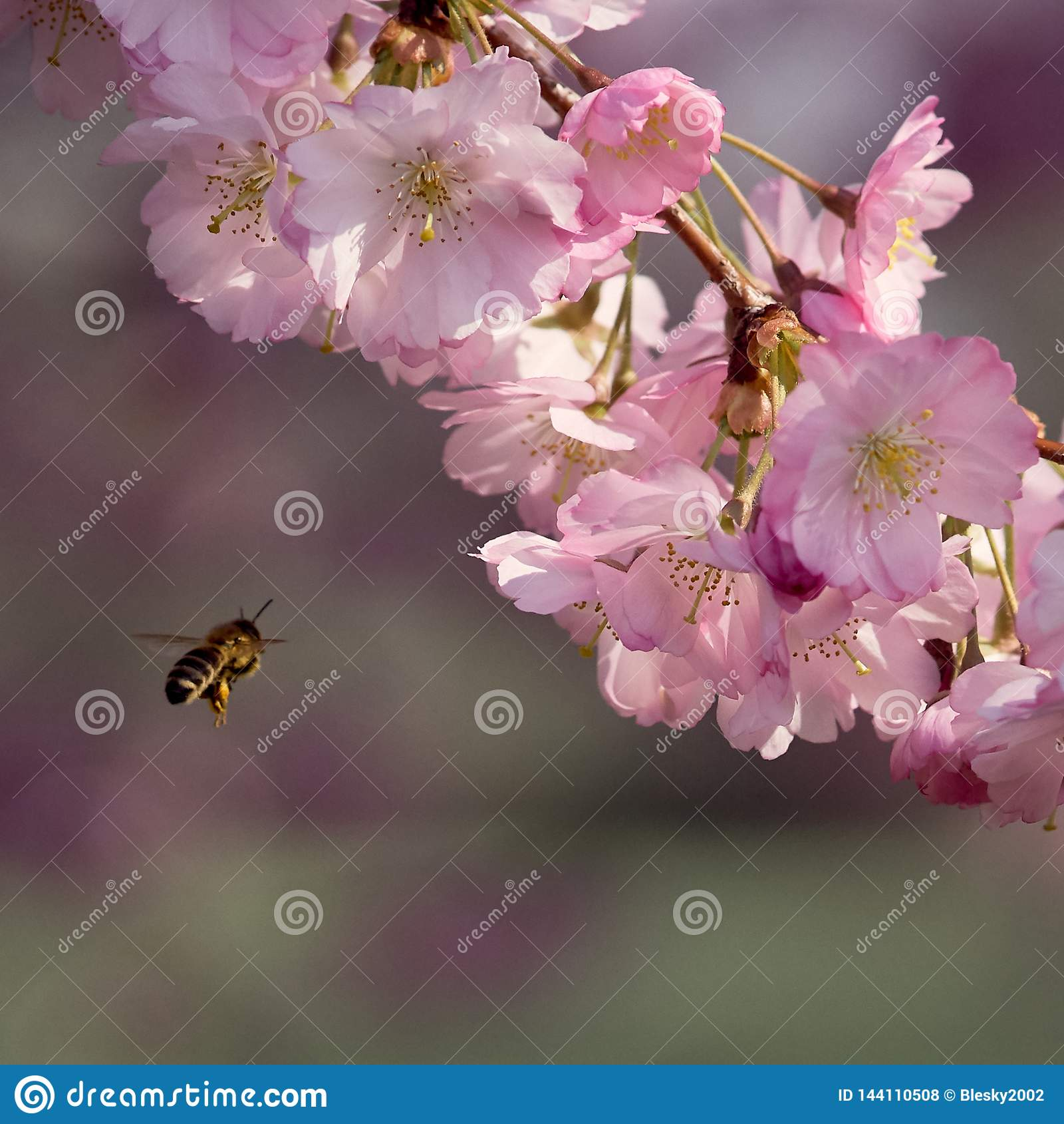 A bee approaching sakura flowers in blossom