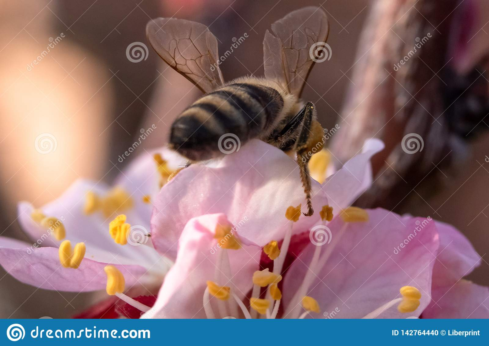 Bee on apricot flower