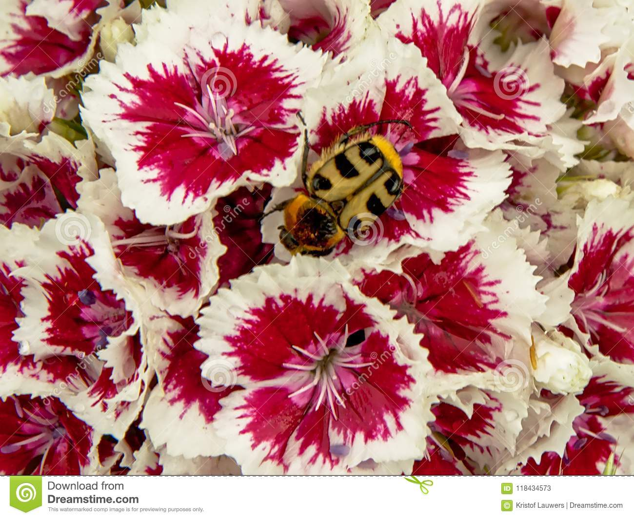 Bee Beetle On A White And Puple Sweet William Flower Stock Image