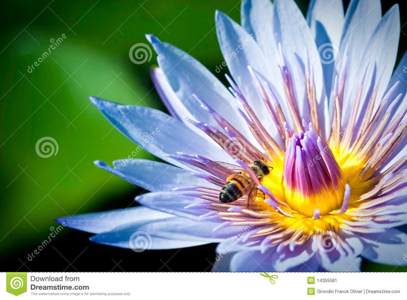 Bee blue lotus flower stock photos images pictures 394 images bee in blue lotus flower stock image dhlflorist Images