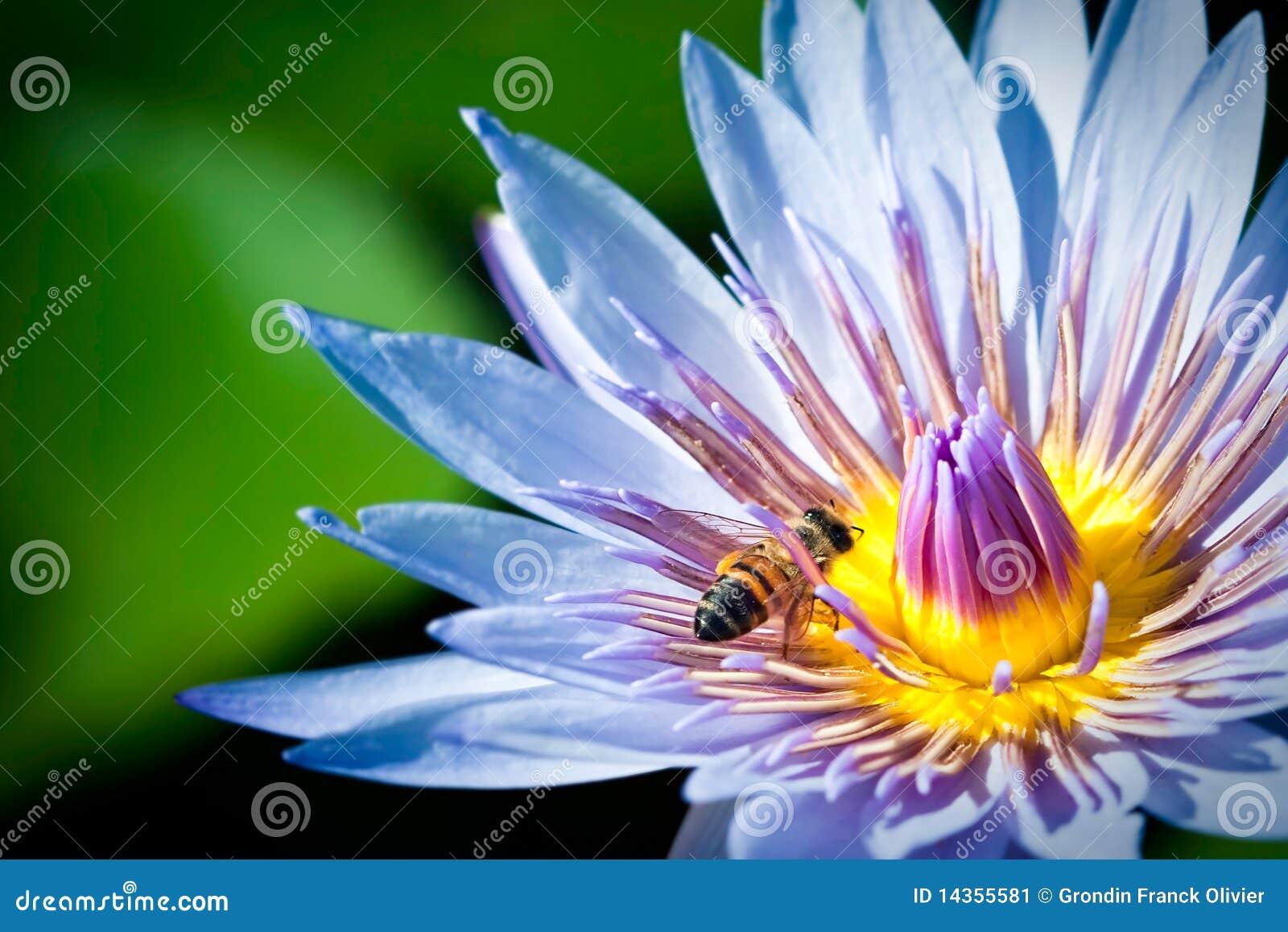 Bee in blue lotus flower