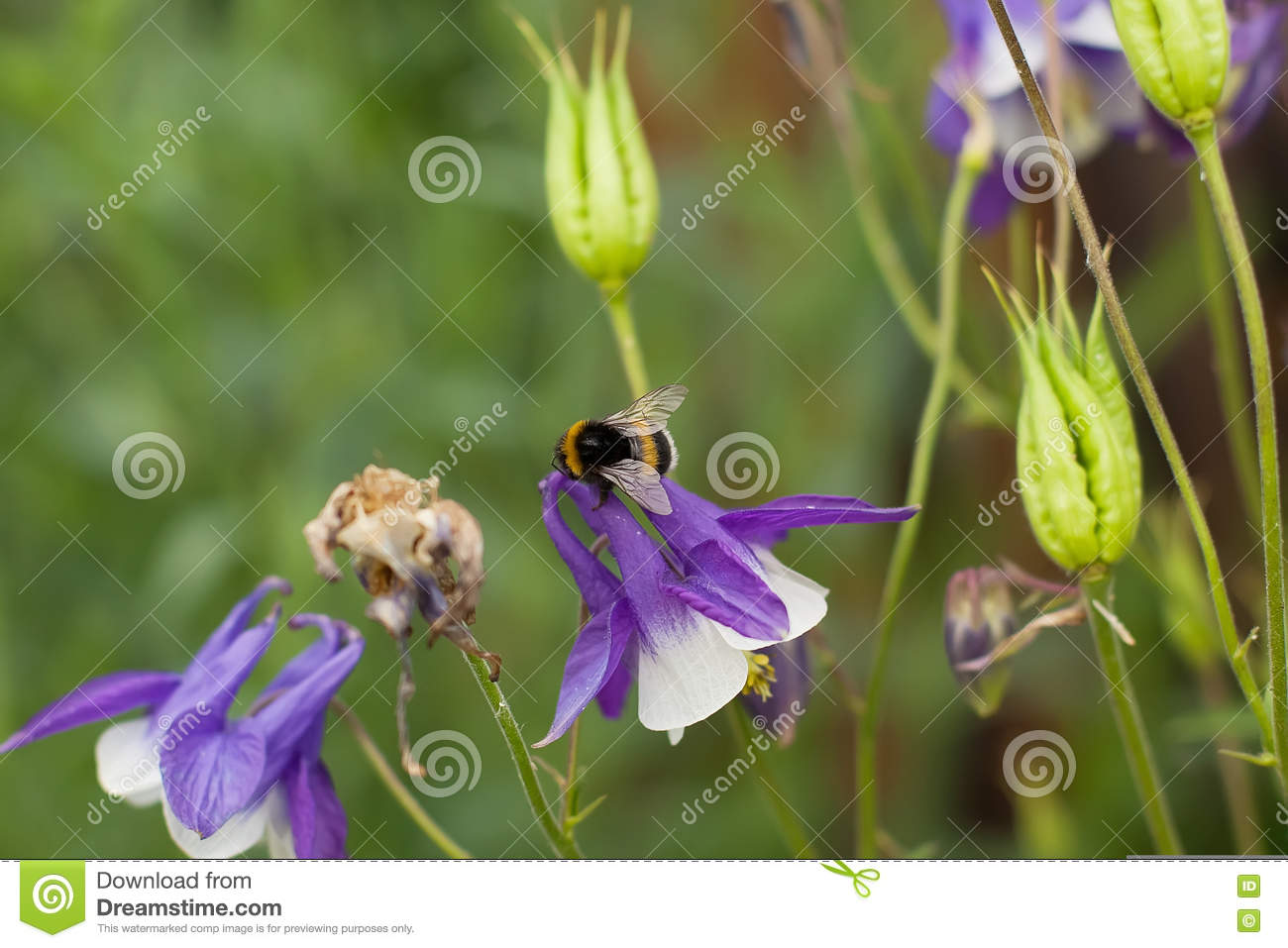 Bee,bumblebee In The Bluebells Stock Image - Image of bluebell ...