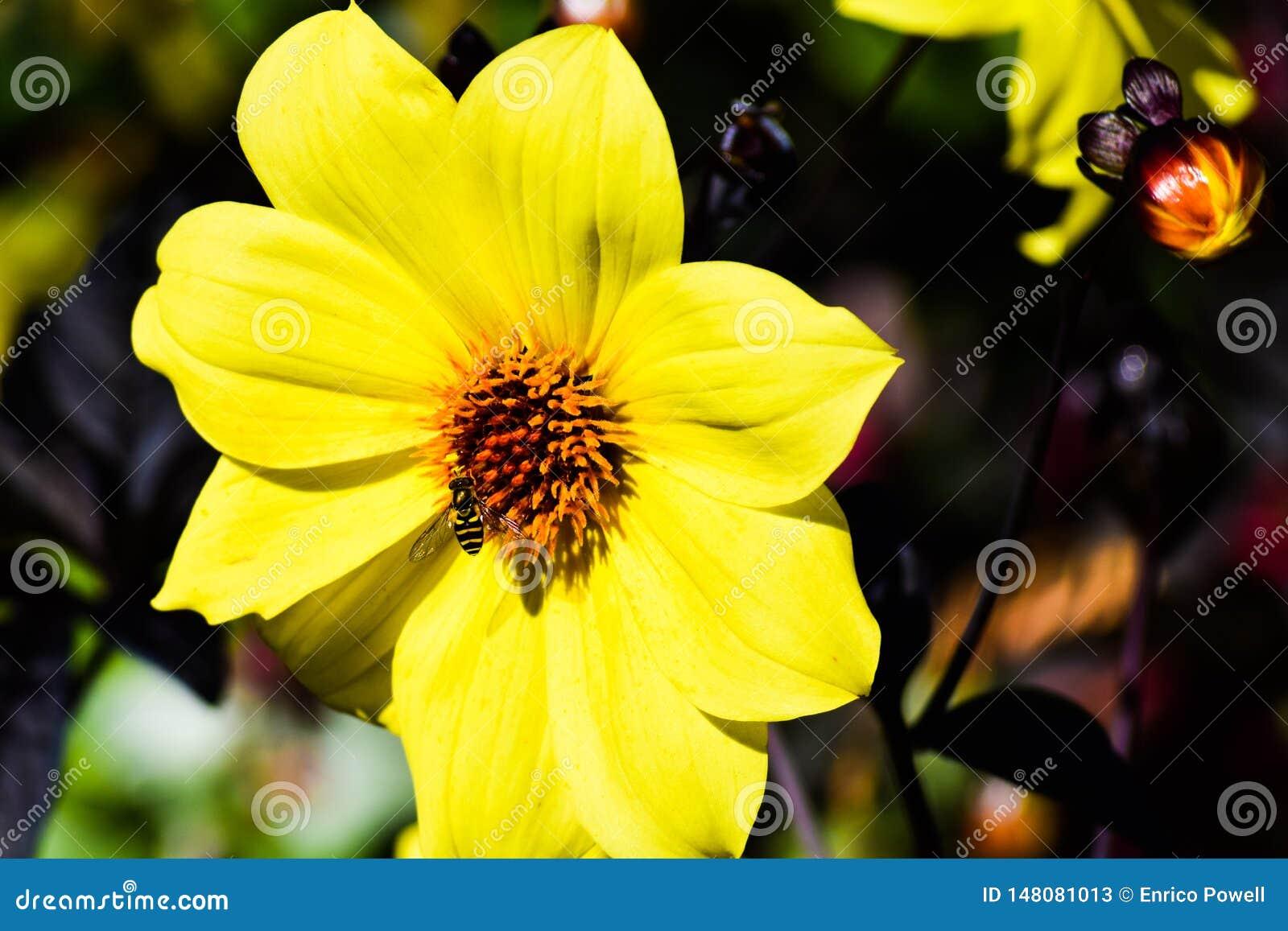 Bee/Bumblebee feeding on pollen from bright yellow daisy/ sunflower.