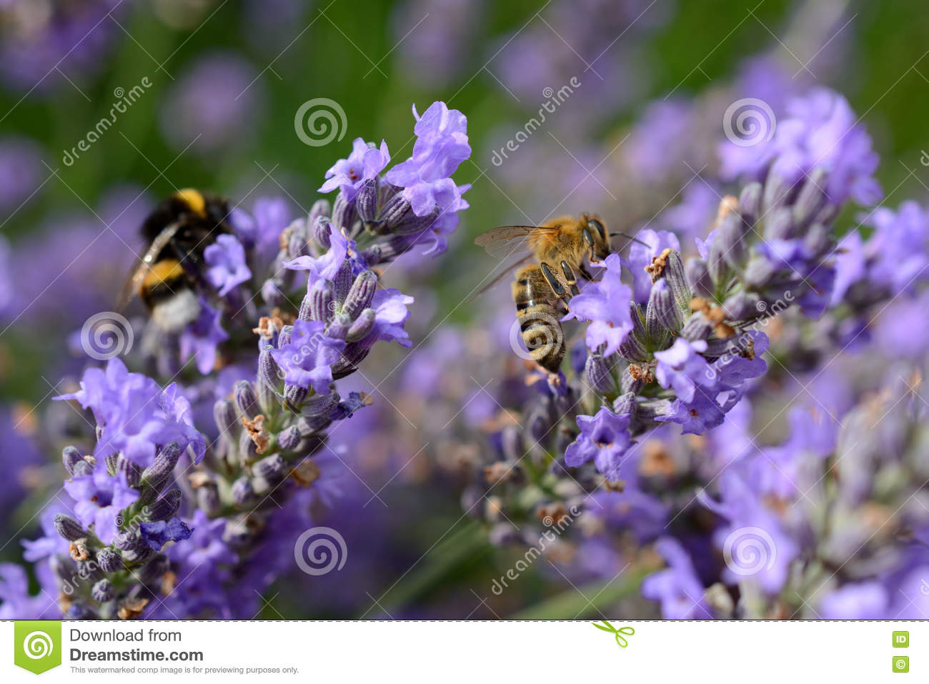 Bee And Bumblebee On Lavender Stock Image - Image of scent ...