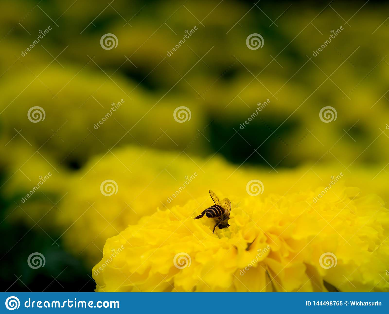 Bee Burrowed into The Flower to Feed on Nectar