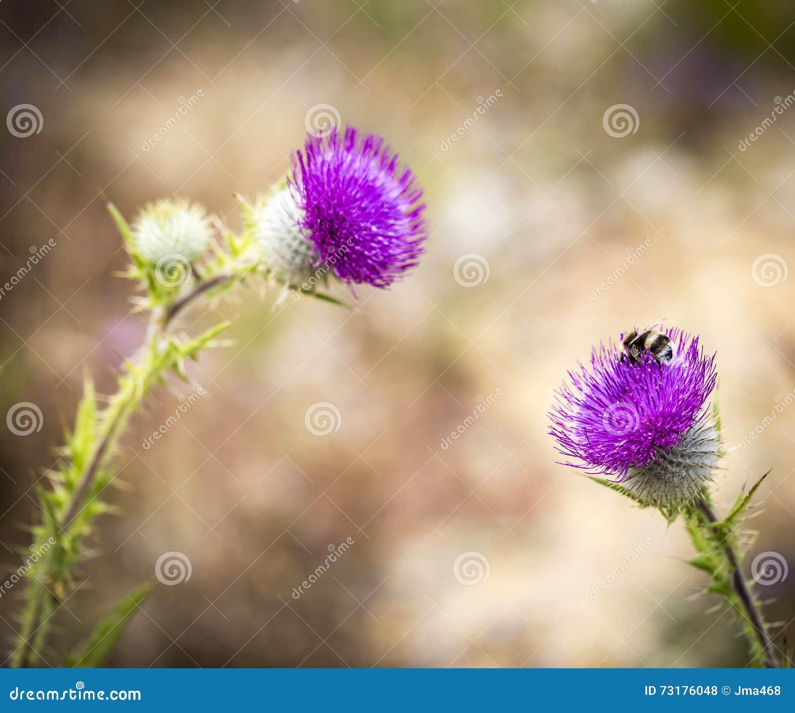 Bee on a Cirsium eriophorum - Woolly purple thistle