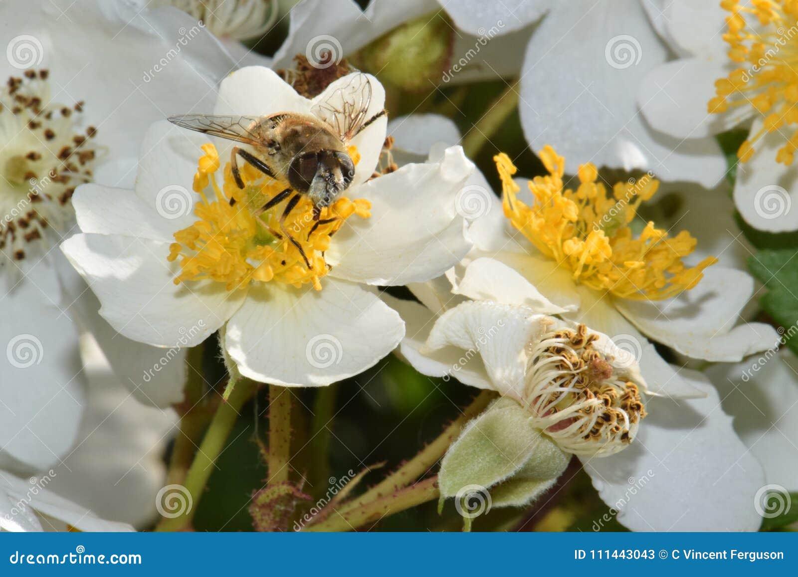 Bee Closeup in White Flower Heaven 03