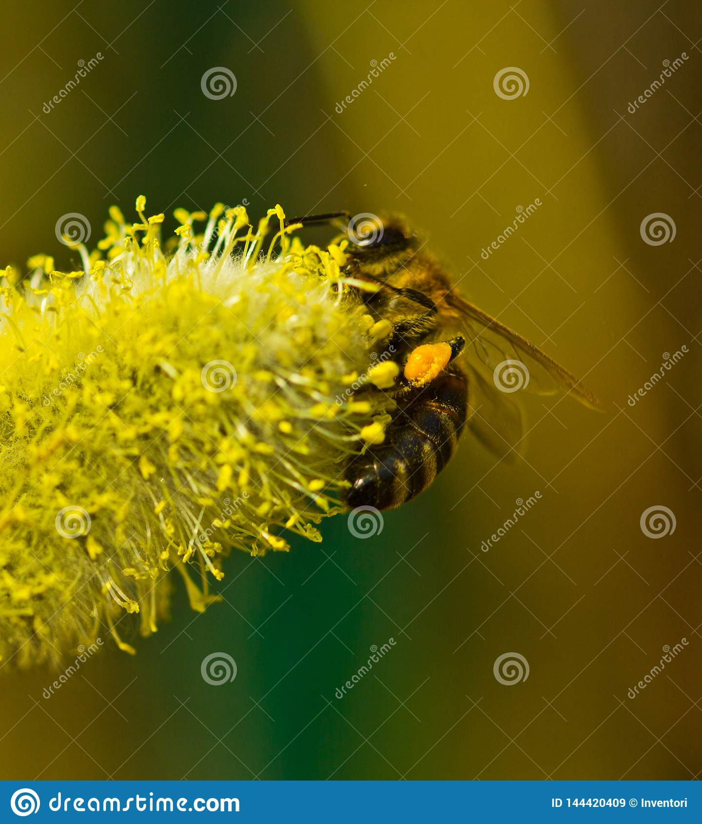 Bee collect nectar from flowering willow