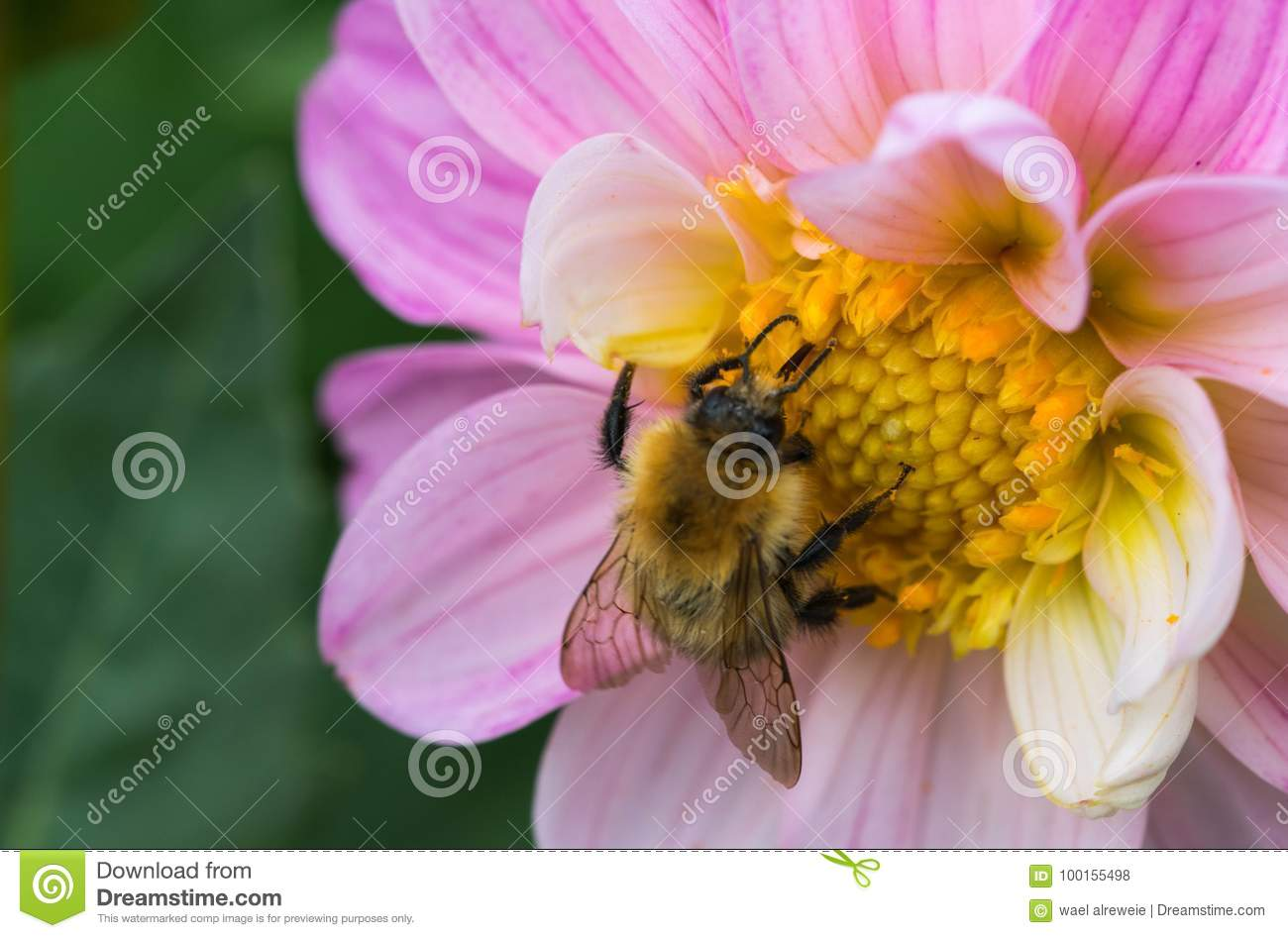Bee collecting nectar on beautiful flowers stock photo image of bee collecting nectar on some beautiful flowers izmirmasajfo