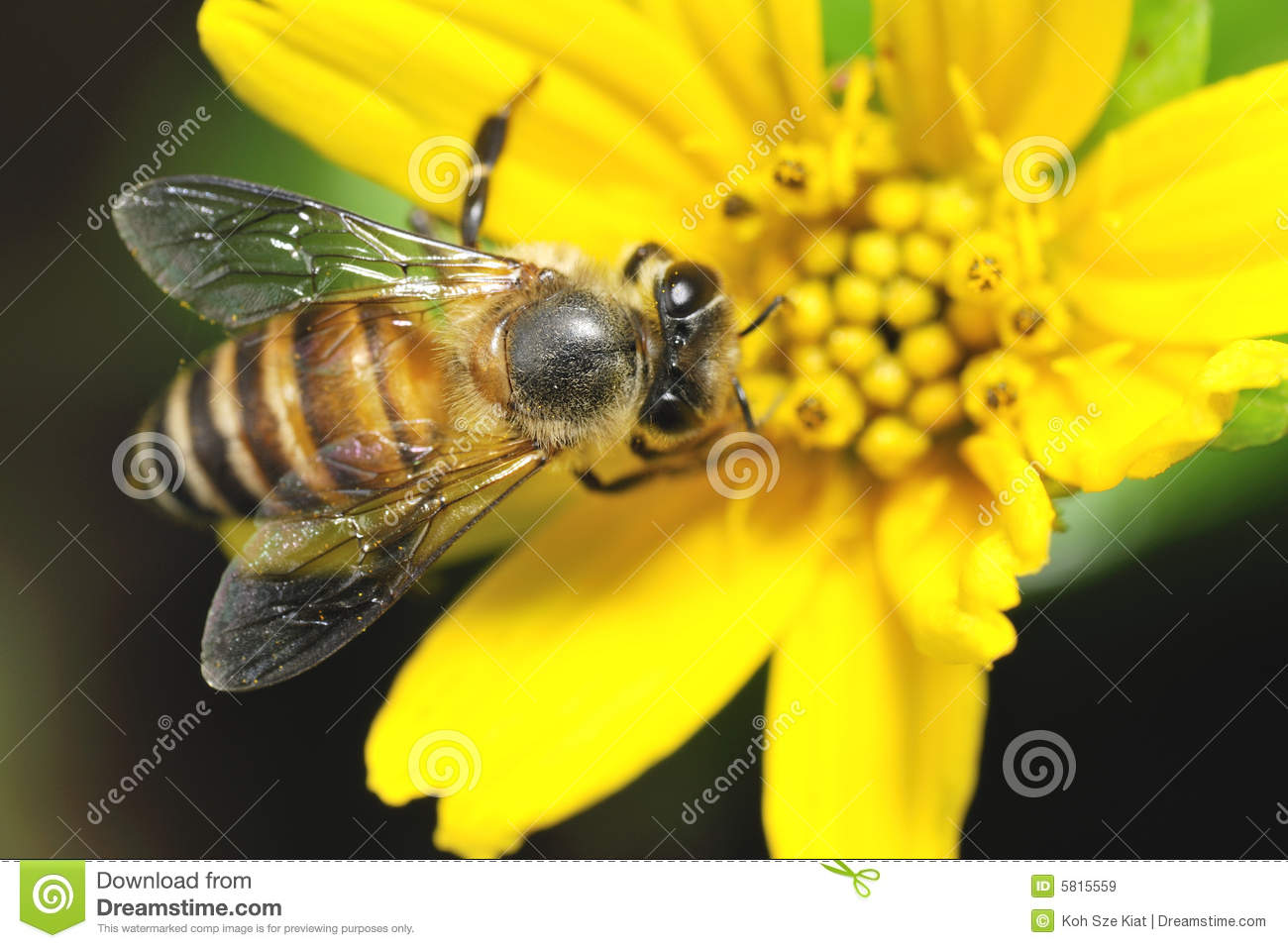 Bee Collecting Nectar On Flower Royalty Free Stock Images - Image ...