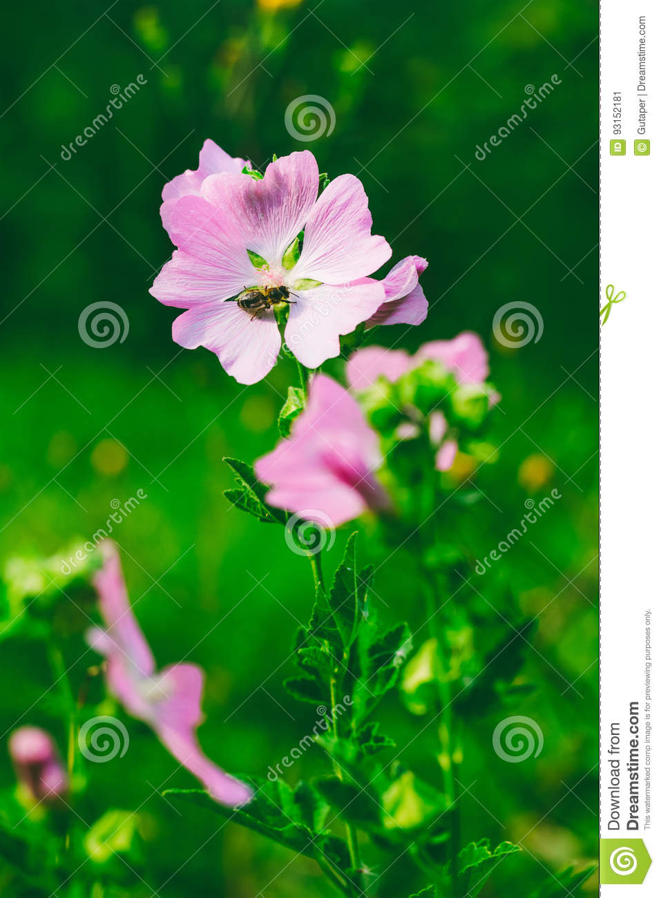 A bee collects nectar from the beautiful wild pink flowers lavatera a bee collects nectar from the beautiful wild pink flowers lavatera thuringian mightylinksfo