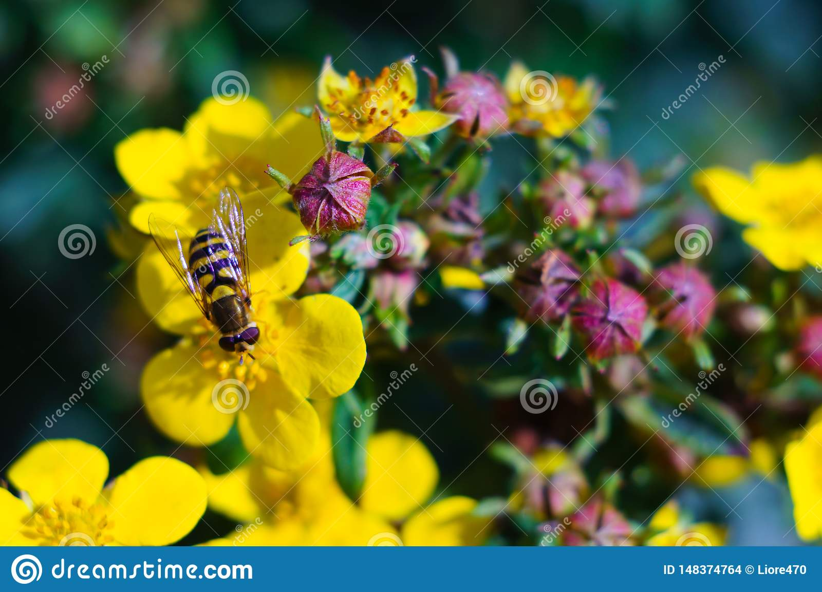 A bee collects nectar on a yellow flower on a clear sunny day. Close-up. Summer concept. Soft focus