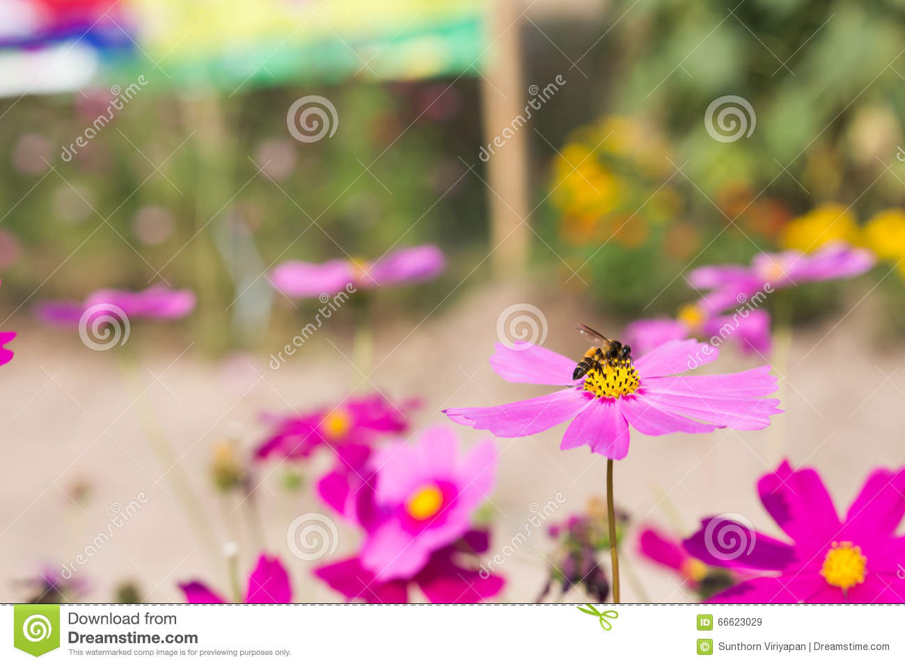 Bee Collects Pollen From Pink Flowers Perennial Asters In The Ga