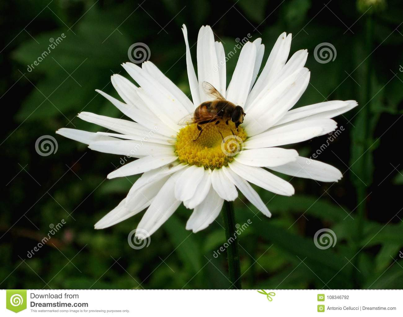 Bee On A Daisy Flower Stock Photo Image Of Insect Sale 108346792