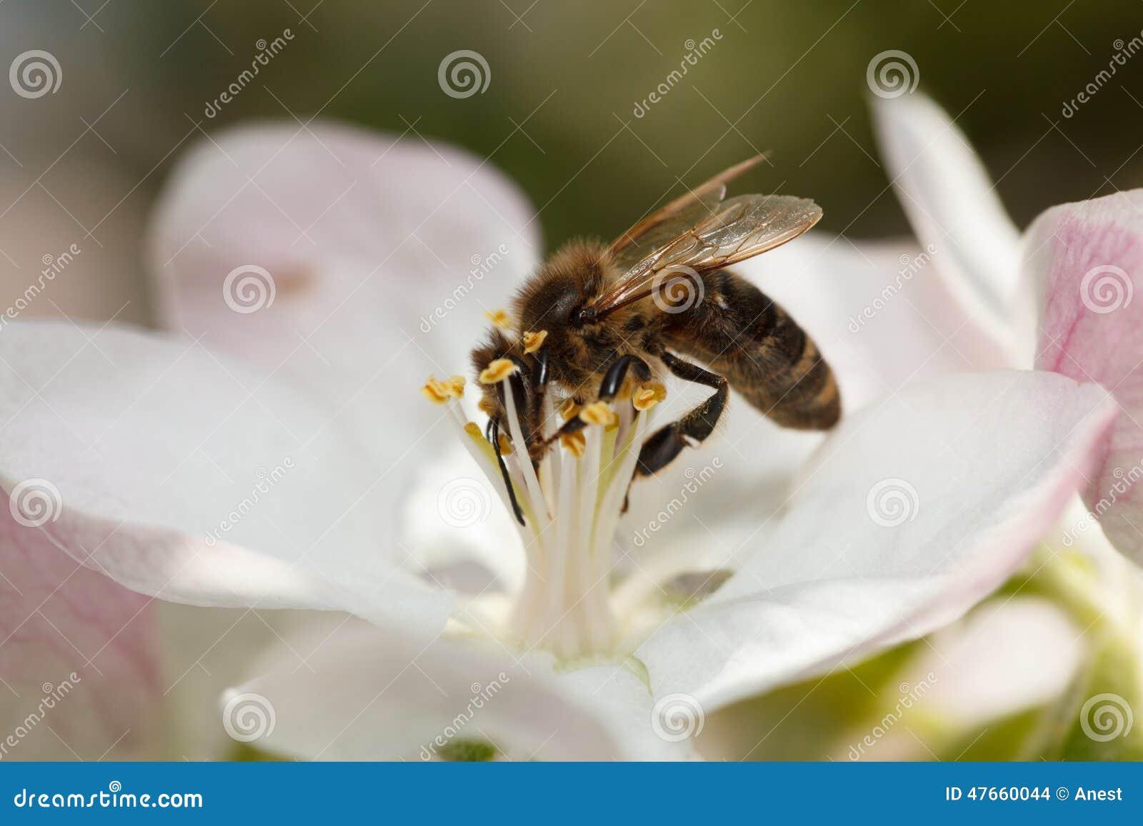 Bee Drinking Nectar On Apple Flower Stock Photo - Image of