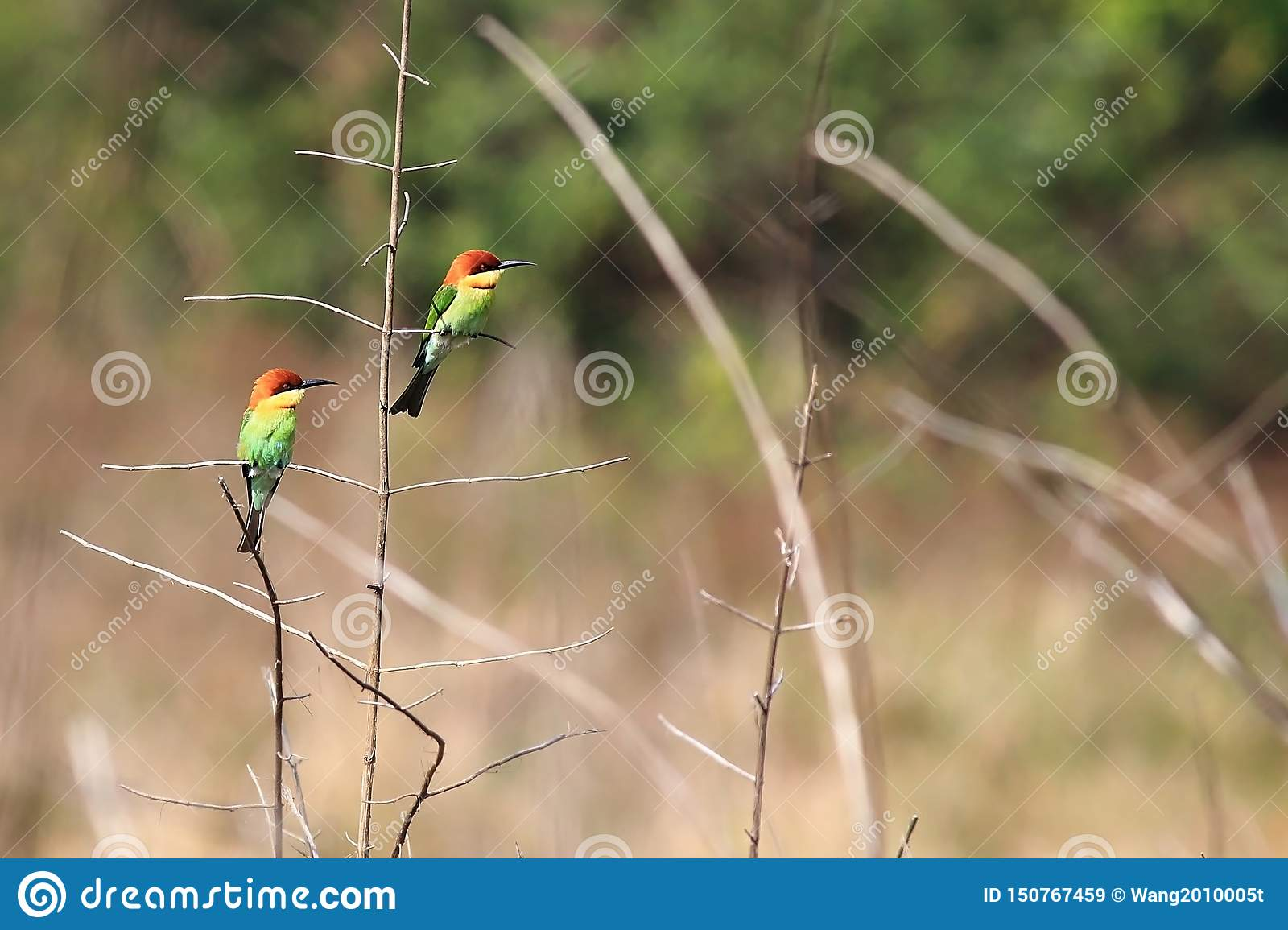 Bee-eater Ch?taigne-dirig?