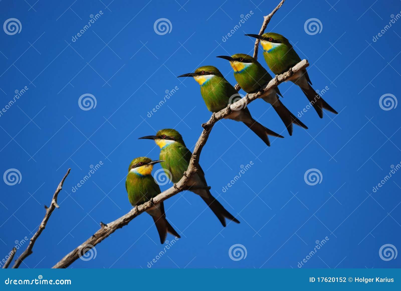 Bee-Eater Swallow-Tailed (hirundineus de Merops)