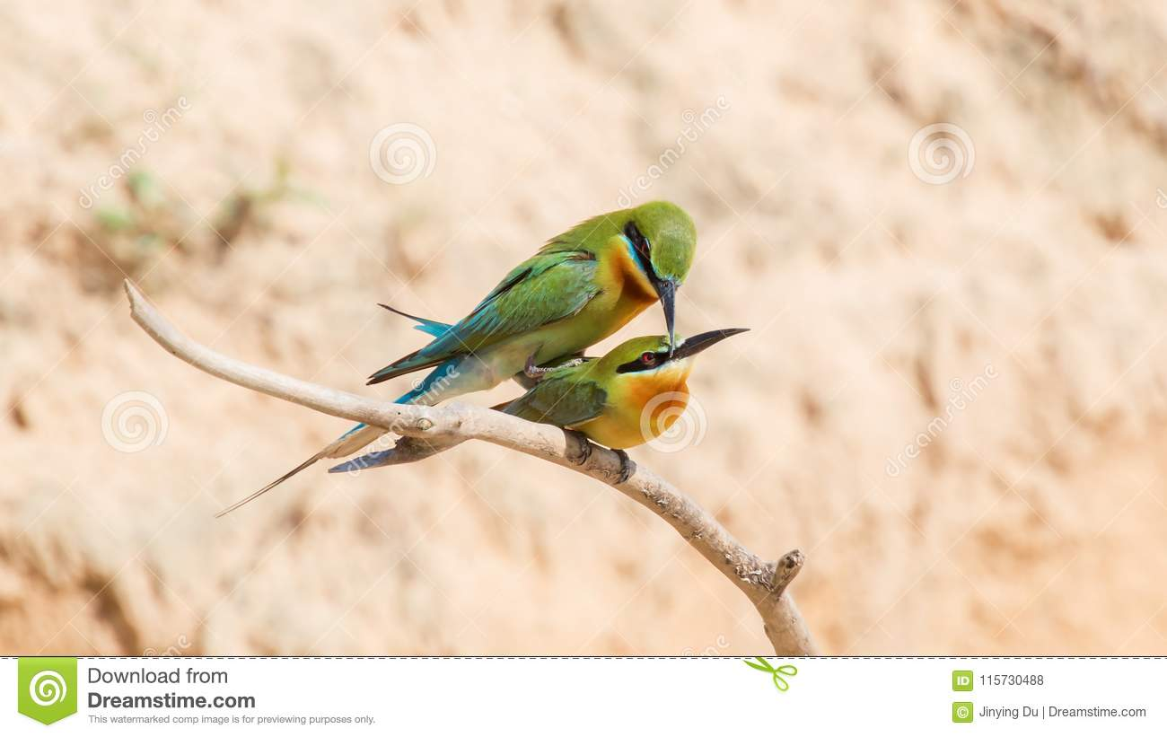 Bee-eaters in love